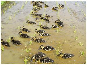 写真:合鴨農法風景